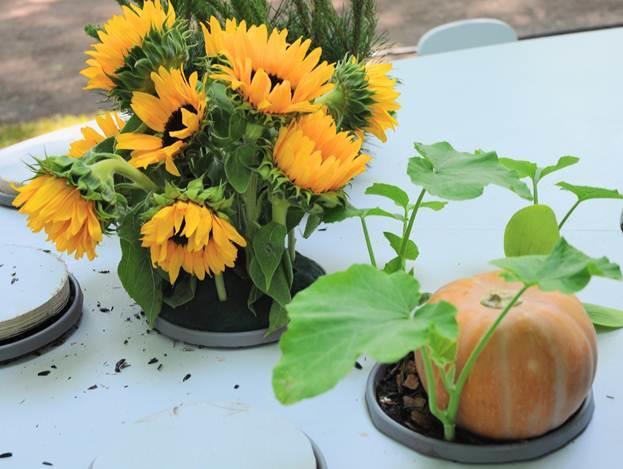 Особенности выращивания ивиды подсолнечника