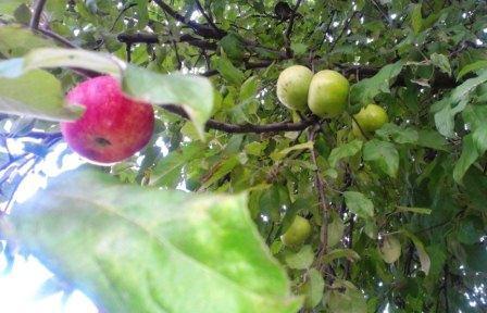 окулировка плодовых деревьев картинка