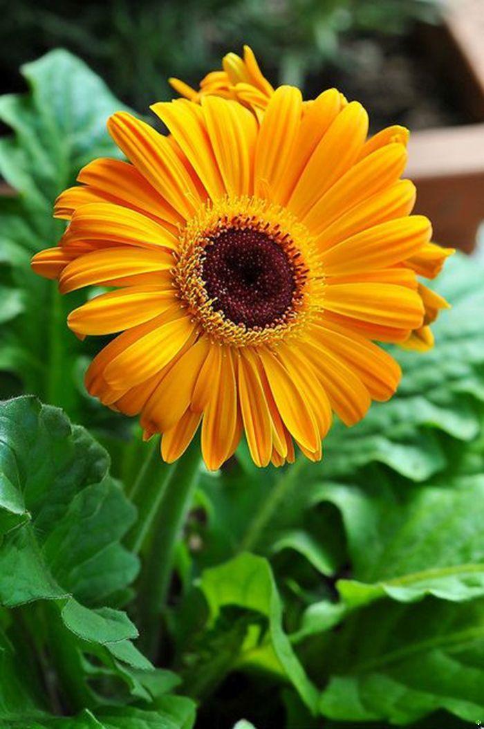 Герберы: посадка иуход всаду идомашних условиях (+фото цветов)