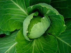От чего на листьях капусты дырки