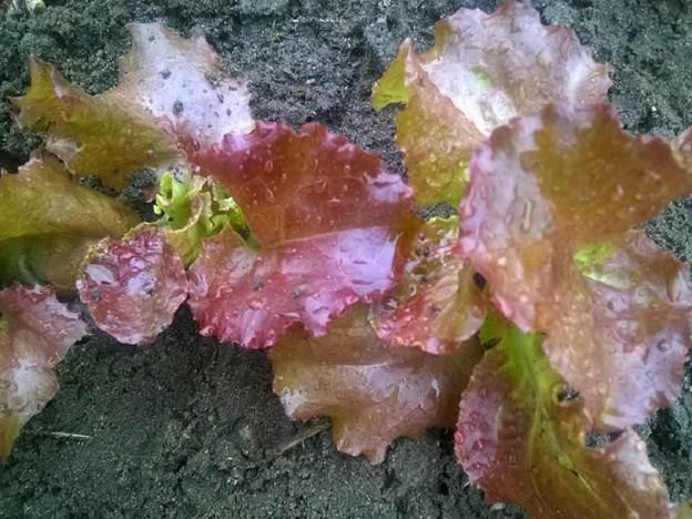 Салат Десерт листовой