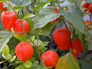 Физалис фото и выращивание 285