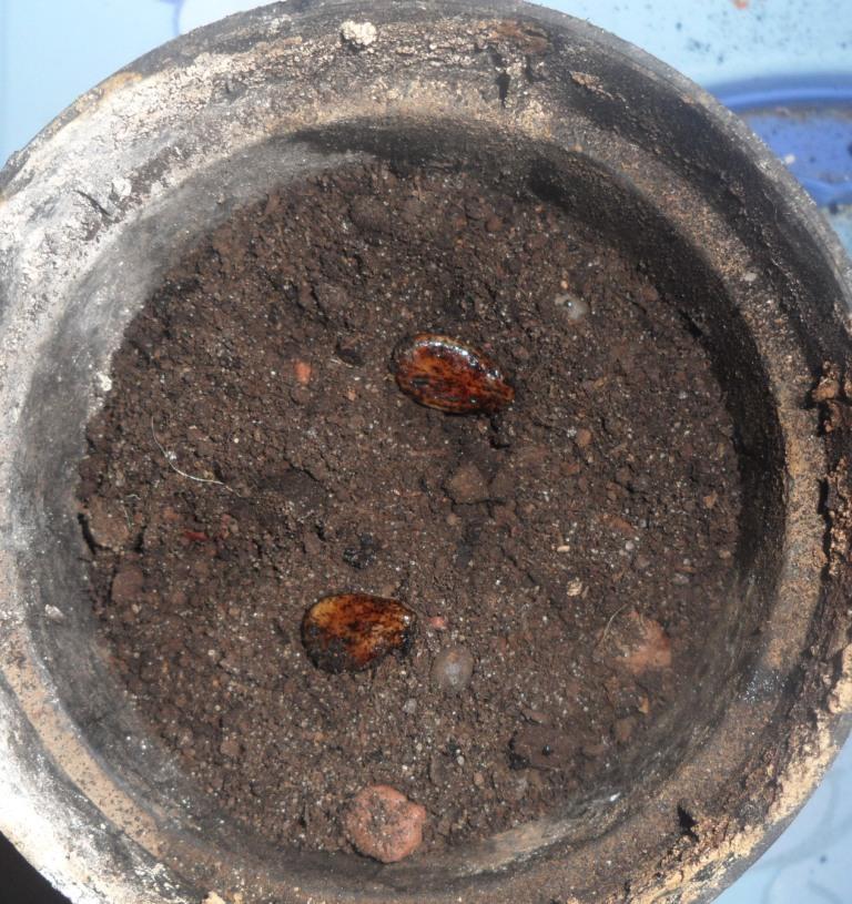Семена дыни изображение