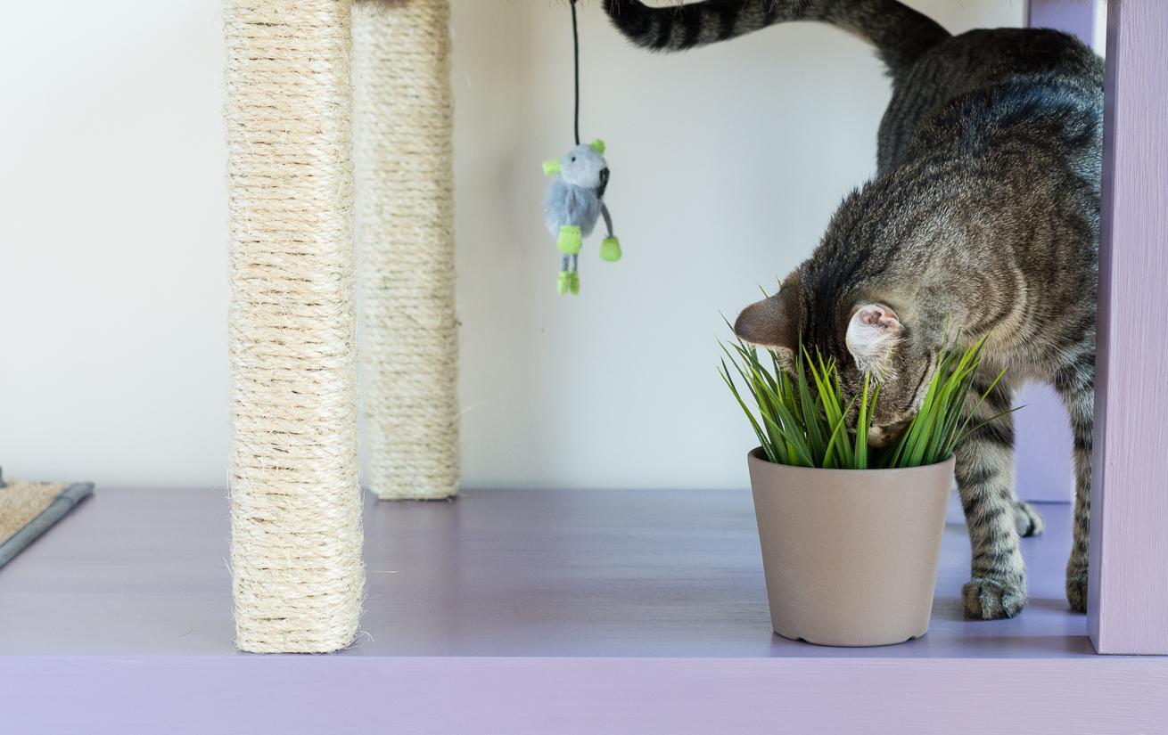 Трава для кошки