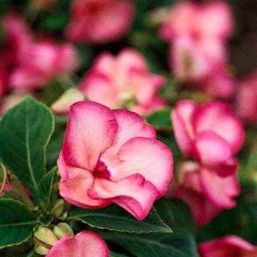 Недотрога цветок