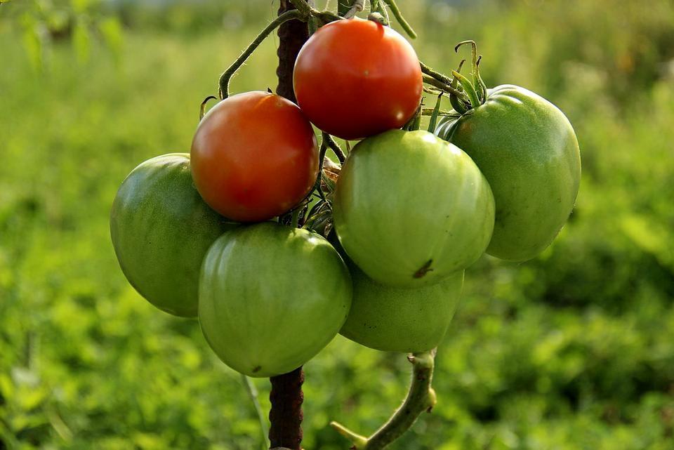 Хороший уход за томатами