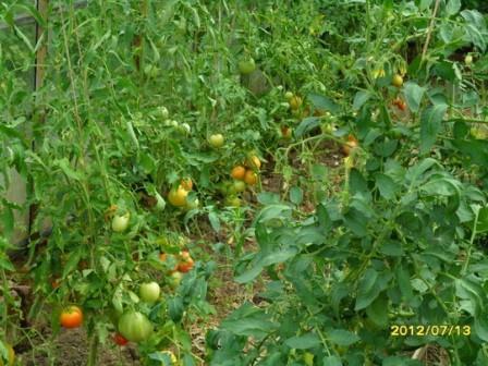 Как выбирать помидоры для рассады 14