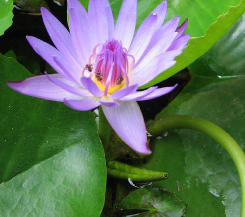 Лилии водяные