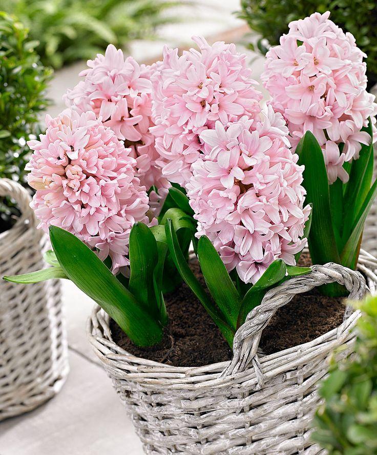 Гиацинт (фото): всё опосадке иуходе после цветения