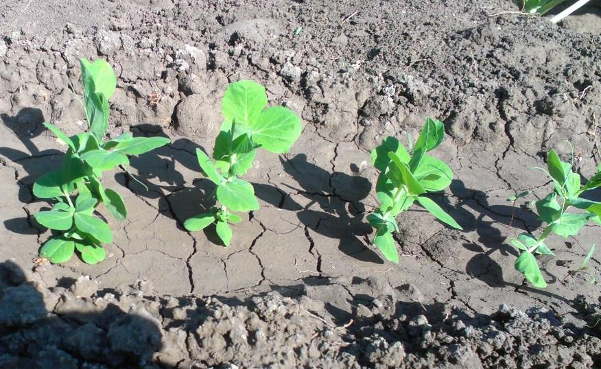 Выращивание и уход за горохом 242