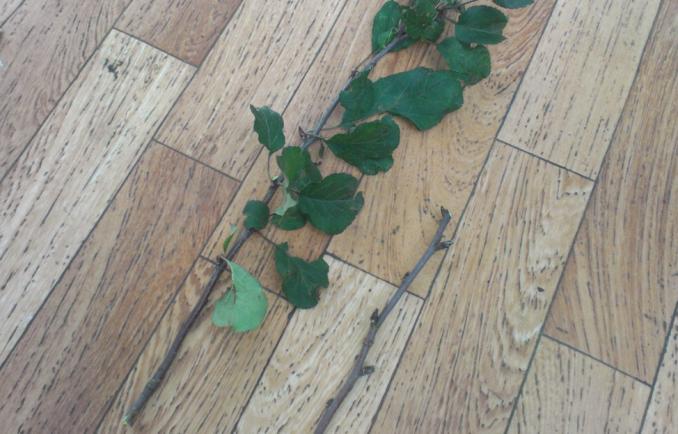 Черенок плодового дерева