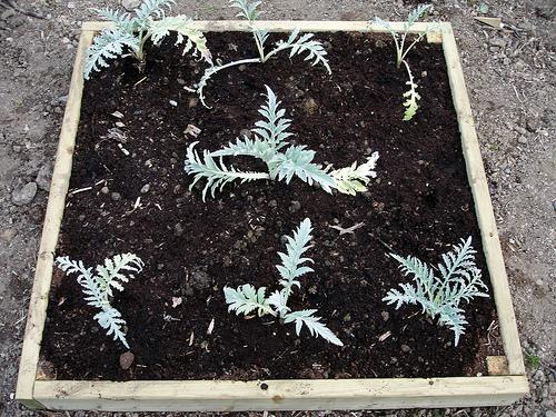 Артишок выращивание